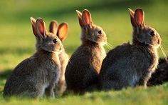 Google Image Result for http://i.telegraph.co.uk/telegraph/multimedia/archive/01500/rabbit_1500988c.jpg