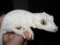 Rhacodactylus auriculatus - Hledat Googlem