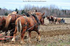 Northern Maine Amish work horses.