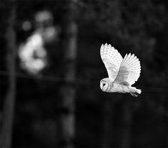 Owl #White, #Black