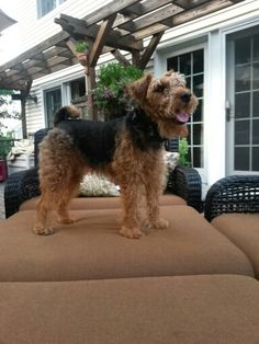 King Levi :) Welsh Terrier