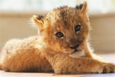 Cute Tiger Cubs, Cute Tigers, Fluffy Animals, Cute Baby Animals, Baby Kittens, Cats And Kittens, Beautiful Creatures, Animals Beautiful, Lioness And Cubs