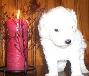 vente chien lof angers maine et loire caniche toy caniche nain pinscher nain loire atlantique 44