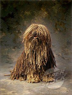 1000+ images about puli on Pinterest | Puli dog, Komondor ...