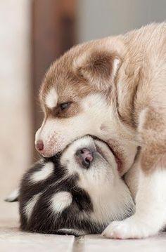 Cachorros de siberiano. #animales #perros