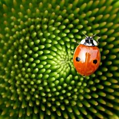 ladybug meets fibonacci | Flickr - Photo Sharing!
