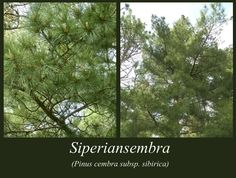 Siperiansembra - puulajipuisto Plants, Plant, Planets
