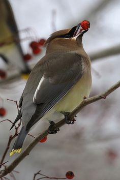 cedar waxwing-one of my favourite birds who make our backyard their home!