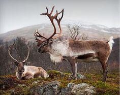 A Male & Female Reindeer