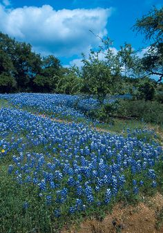blue bonnets around San Antonio