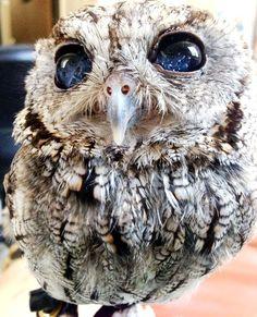 Dropbox - zeus_the_blind_owl-2.jpg