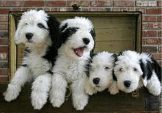 Four Sheepadoodles in a row.