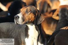Hurworth Hunt 075 | All Rights Reserved. @ www.Hurworth-Phot… | Hurworth Photography | Flickr Beautiful Dog Breeds, Beautiful Dogs, Fox Hunting, Hunting Season, Old English, Dog Photos, Pet Portraits, Trail, Horses