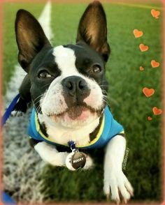 9 months old Happy Hump Day my awesome FURriends!  #bostonterrierlove  #bostonterrier_feature #bostonterriersoverload #mydogiscutest #igcutest_animals #bostonsofinstagram #squishyfacecrew #lacyandpaws #littlerocky #rocky #shortsnouts #dogsandpals #btcult #bostonterrierpuppy #bostonterrier #pawpack #bostonterriers #bostonpuppies #bostonterrierlove #bostonterrierpuppy #bostonterriersofinstagram #bostonterrierslove #bostonterriersforever #bostonterriercult #dog_features #excellent_puppies…