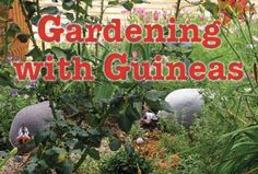 Gardening With Guineas By Jeannette S. Ferguson From The June/july, 2008 Issue…