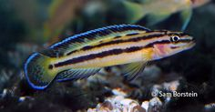 A family of Julidochromis sp. Tropical Aquarium, Tropical Fish, Planted Aquarium, Aquarium Fish, Lake Tanganyika, Tropical Freshwater Fish, Hamster Cages, African Cichlids, Gifts For Photographers