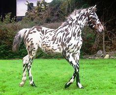 Horse -realllly striking coat!    Woodend Snow King - Knabstrupper USA