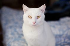 cat / white with yellow eyes