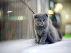 Sad gray Scottish Fold cat