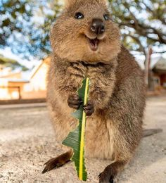 Happy Animals, Cute Funny Animals, Animals And Pets, Amazing Animals, Animals Beautiful, Quokka Baby, Tier Fotos, Animals Of The World, Animal Photography