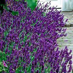 hidcote superior lavender | Lavender Cultivar: Hidcote Superior Family: Lamiaceae Genus: Lavandula ...