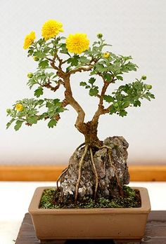 Dandelion Bonsai : never taught this would be possible. Is the name bonsai appropriate? Bonsai Acer, Bonsai Plants, Bonsai Garden, Bonsai Trees, Succulents Garden, Air Plants, Cactus Plants, Ikebana, Plantas Bonsai