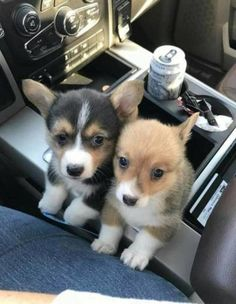 30 Cute Puppy Pictures to Brighten Your Day - JustViral.Net - 30 Cute Puppy Pictures to Brighten Your Day – JustViral.Net 30 Cute Puppy Pictures to Brighten - Cute Corgi, Corgi Dog, Pet Puppy, Puggle Puppies, Baby Corgi, Corgi Funny, Maltese Dogs, Puppy Eyes, Chow Puppies