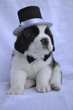 Puppy Chubby Puppies, Baby Puppies, Cute Puppies, Cute Cats And Dogs, Big Dogs, I Love Dogs, Mountain Dog Breeds, St Bernard Puppy, Akita Puppies