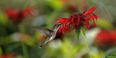 Ruby-throated hummingbird taking nectar from bee balm (Monarda didyma). Image: Raymond Gobis
