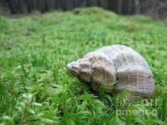 Seashell not by the Seashore! Maine wonder