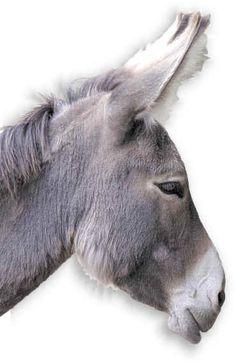 Really want a donkey. Donkey Donkey, Cute Donkey, Mini Donkey, Farm Animals, Animals And Pets, Cute Animals, Beautiful Horses, Animals Beautiful, Donkey Drawing