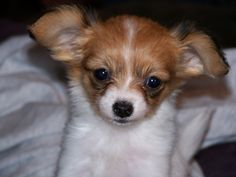 baby papillon puppy.got one of these last night.only 12 weeks old,not potty trained.anyone out there got tips on potty training a puppy.