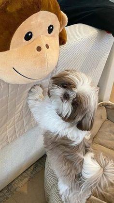 Shitzu Puppies, Cute Puppies, Dogs And Puppies, Shih Tzu Puppy, Shih Tzus, Baby Animals Super Cute, Cute Animals, Dog Cuddles, Toy Dog Breeds
