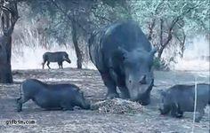 Rinoceronte que se respeta { GIF }