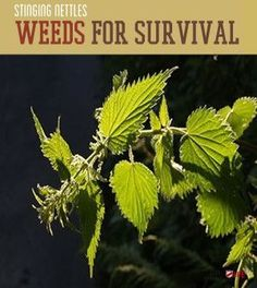 Stinging Nettles - Weeds For Survival   Find natural foods and other natural health and survival tips at survivallife.com