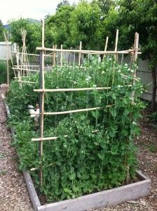 peas,green peas,english peas,sugar snap peas,garden peas,vegetable garden,growing vegetables,raised bed garden,garden,gardener,gardening,supporting peas in the garden,supporting green peas,pea vines,how to grow peas