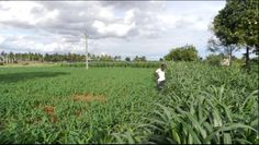 Starved of fresh water, South India's farmers grew vegetables from waste water.