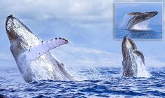 The extraordinarily rare moment two 40-tonne whales breach in unison  http://www.dailymail.co.uk/travel/travel_news/article-3019953/Synchronised-swimming-Extraordinary-moment-two-40-tonne-whales-leap-water-breach-unison-Hawaii.html