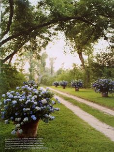 Large dramatic blue hydrangeas is pots. country road
