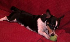 Buckshot is a corgi/ jack russel terrior looking for a new home; contact 23spades@gmail.com or call 540-560-9021 for more info or visit http://thedailycorgi.blogspot.com/