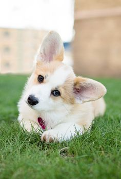 Paddington the Corgi Puppy by Posh Pets Photography | Pretty Fluffy