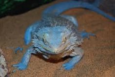 blue bearded dragon for sale - Google Search