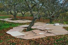 Converting an orchard to a food forest. An interesting work in progress.
