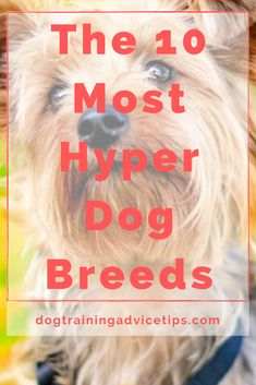 If you are planning to adopt a dog that will fit your lifestyle, make sure that you choose the right breed. Here is a list of the 10 most hyper dog breeds. #dogtips #dogs #dogfacts Hyper Dog, Dog Facts, The 10, How To Plan, How To Make, Dog Training, Dog Breeds, Dog Lovers, Adoption