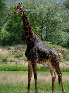 Black giraffe rare animals, unusual animals, most beautiful animals, animals and pets, Unusual Animals, Most Beautiful Animals, Rare Animals, Jungle Animals, Animals And Pets, Funny Animals, Melanistic Animals, Giraffe Art, Mundo Animal