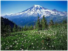 Mount Olympus, at 7,980 feet, is the tallest and most prominent mountain in the Olympic Mountains of western Washington state. Here it is viewed across a meadow of Avalanche Lilies. Located on the Olympic Peninsula, it is the central feature of Olympic National Park