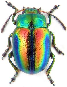 LEAF BEETLE (showing iridescence)Chrysolina fastuosa©zin.ru/ANIMALIA Structural details of the chitinous exoskeleton are responsible for the...