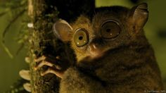 Tarsiers (Tarsiidae): 0.001 lux Tarsiers are tree-dwelling primates from South East Asia. They have probably the largest eyes, relative to their body size, of any mammal. A tarsier's body, excluding the tail, is about 9-16 cm. Meanwhile its eyes are 1.5-1.8 cm across, and occupy almost the entire head. The one downside of the huge eyes is that tarsiers cannot move them. To compensate, their heads can turn 180 degrees.      \