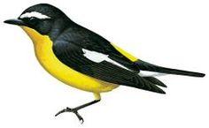 Yellow-rumped Flycatcher (Ficedula zanthopygia)