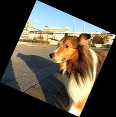 http://ameblo.jp/sheltie-pome-diary/entry-12230729939.html